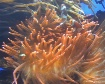 clownfish in anem...