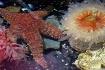 starfish and anem...
