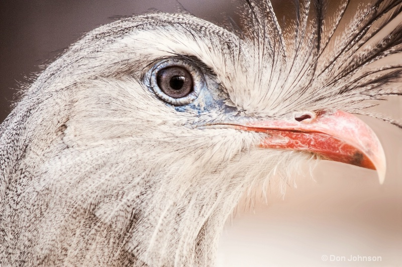 Close Up of Red Legged Seriema - ID: 13788382 © Don Johnson