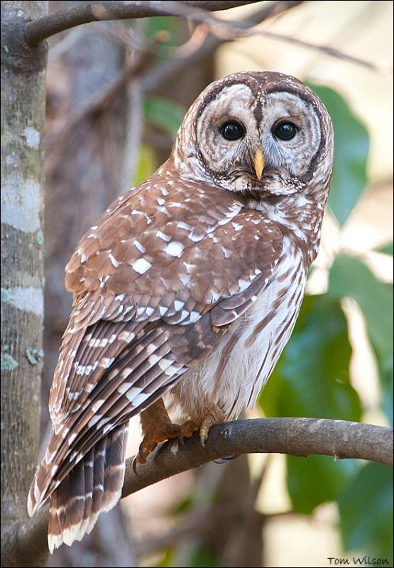 Barred Owl - ID: 13788599 © Thomas R. Wilson