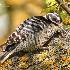 © Leslie J. Morris PhotoID # 13789535: Nuttall's Woodpecker