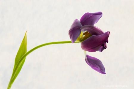 Fading Tulip.
