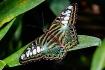 Clipper Butterfly...