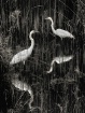 egrets-in-wading