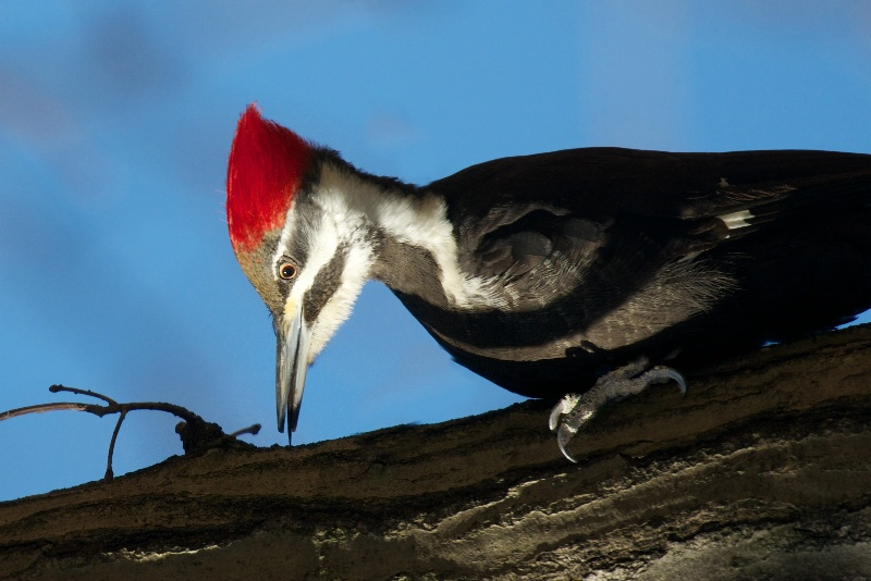 The Pileated Woodpecker