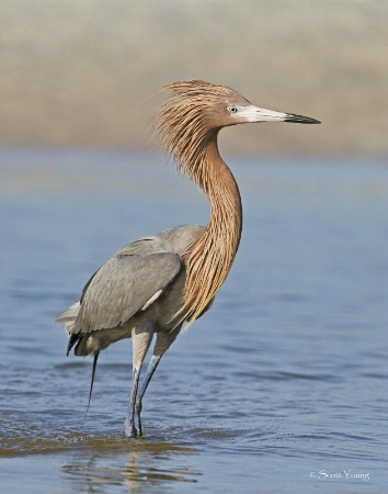 Reddish Egret Ruffled Up; Fort DeSoto, FL