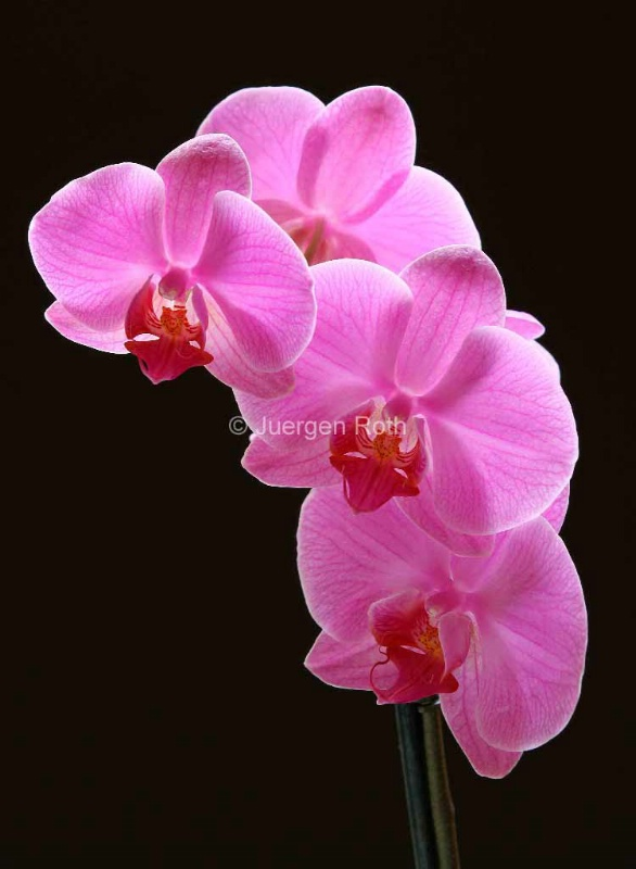 Pink Orchids - ID: 13801997 © Juergen Roth