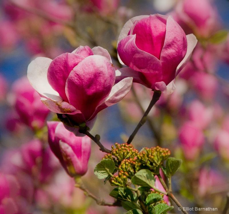 Magnolias 2 - ID: 13803996 © Elliot S. Barnathan