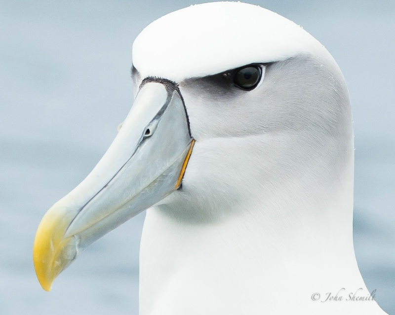 Shy Albatross - March 17th, 2013 - ID: 13812608 © John Shemilt