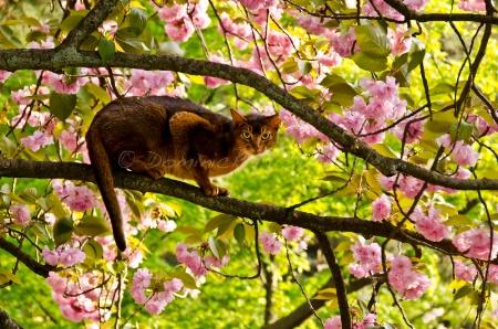 ~ ~ THE CHERRY BLOSSOM CAT ~ ~