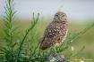 Burrowing Owl 130...
