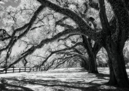 Under the Old Oak Trees