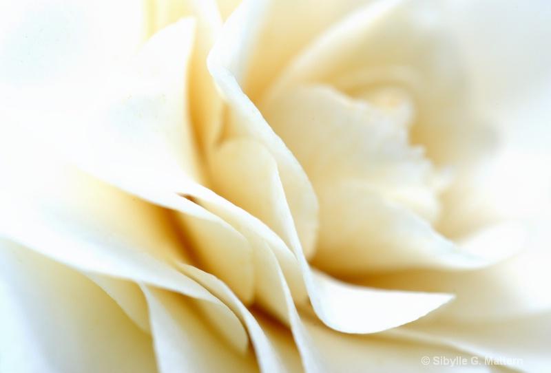 white Camellia detail - ID: 13827412 © Sibylle G. Mattern
