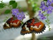 Two Butterflys