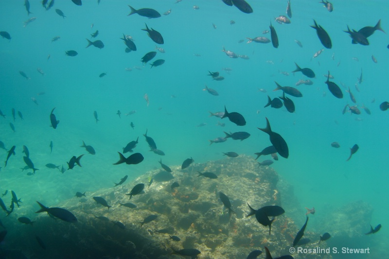 galapagos-underwater-166 - ID: 13831994 © ROSALIND S. STEWART