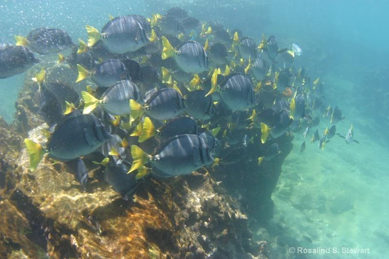 Razor Surgeonfish - ID: 13831997 © ROSALIND S. STEWART