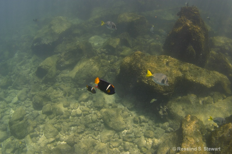 King Angelfish & Razor Surgeonfish - ID: 13831998 © ROSALIND S. STEWART