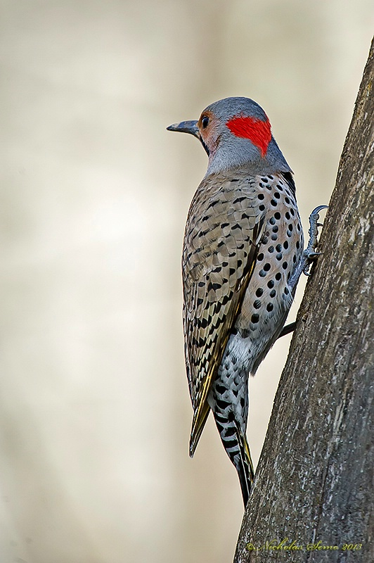 Northern Flicker-Yellow Shafted