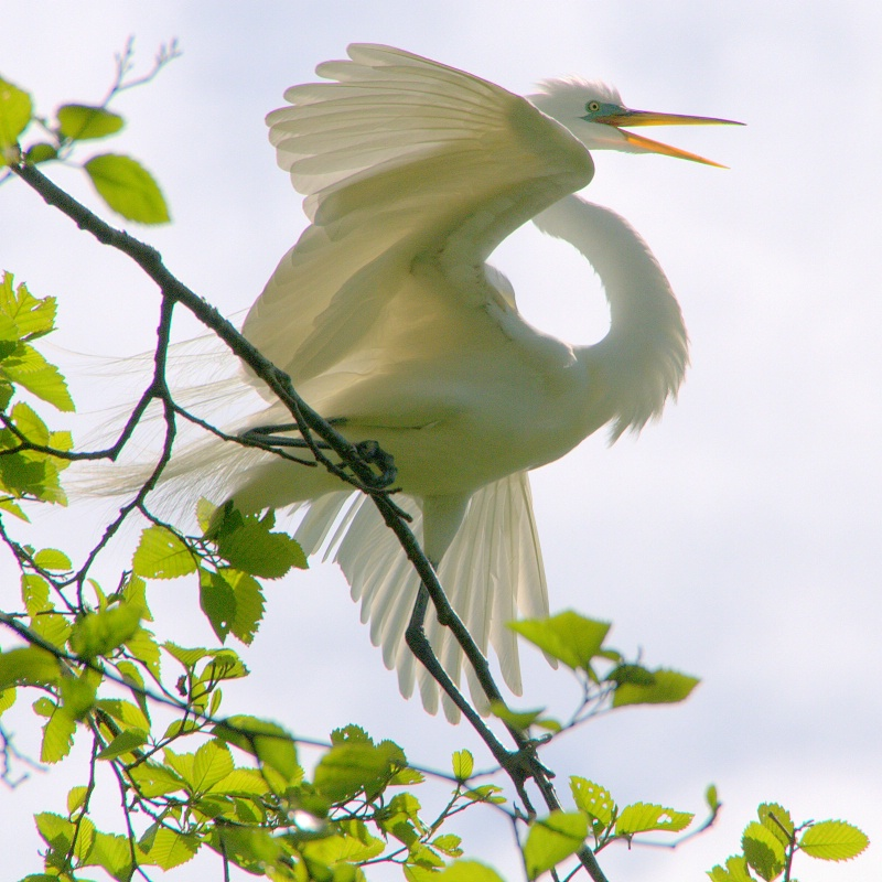 Great Egret - ID: 13834450 © cari martin