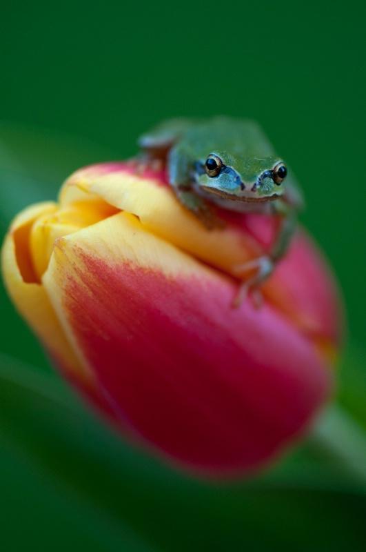 Tulip Frog