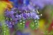 purple wild flowe...