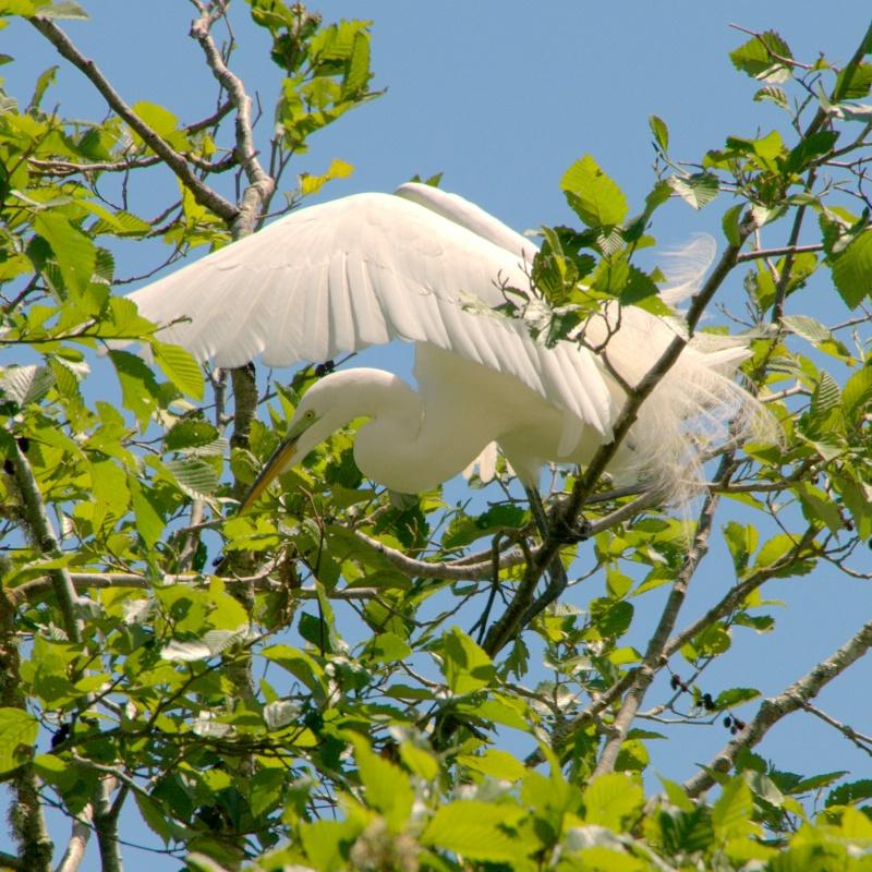 Egret Nesting - ID: 13852587 © cari martin
