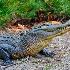 2Awakened Alligator - ID: 13859346 © Zelia F. Frick
