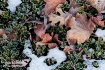 Frosty Leaves and...