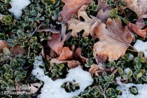 Frosty Leaves and Holly