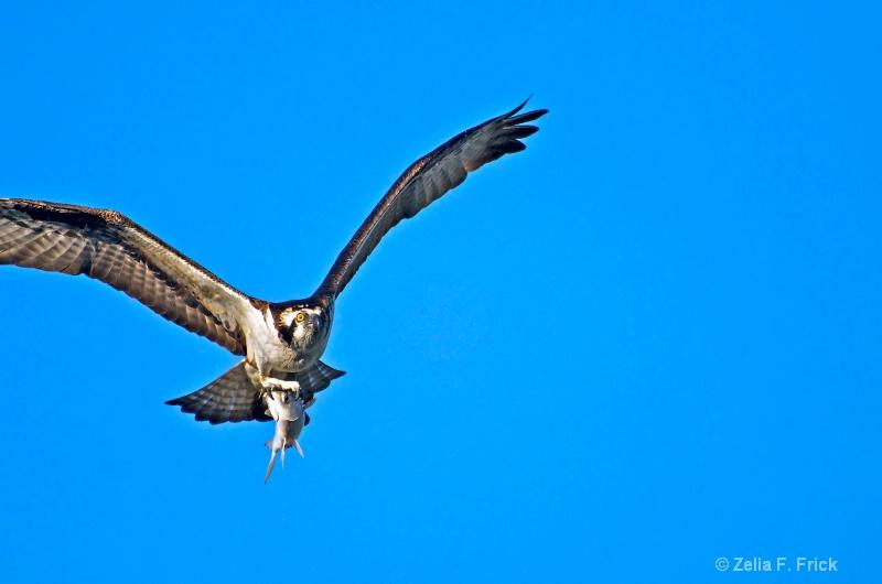 Morning Catch! - ID: 13867007 © Zelia F. Frick