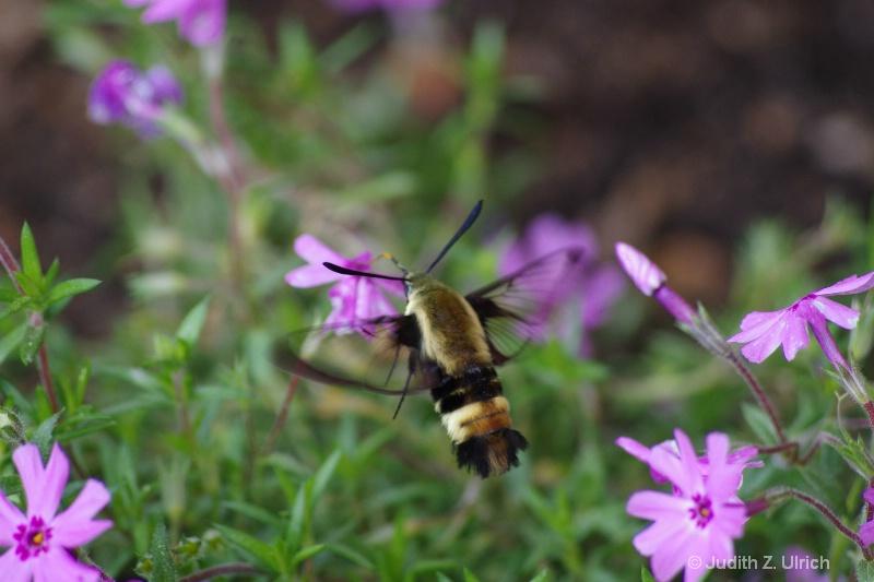 Bumblebee Moth, Hemaris diffinis