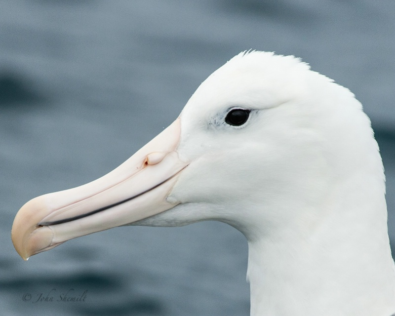 Southern Royal Albatross - Mar 17th, 2013 - ID: 13870835 © John Shemilt