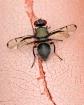 Cootie Bug