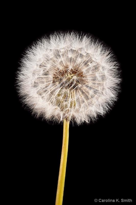 Dandelion Seed Head - ID: 13871930 © Carolina K. Smith