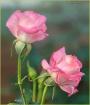 High Key Roses