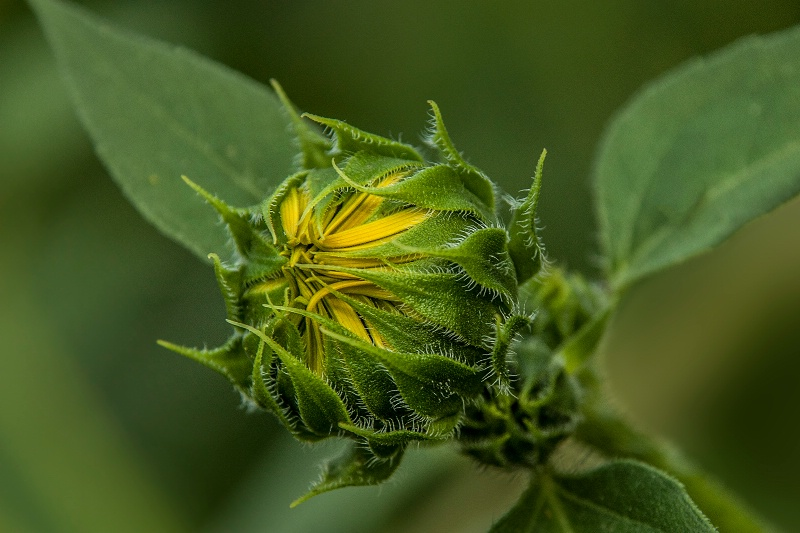 Emerging Sunflower