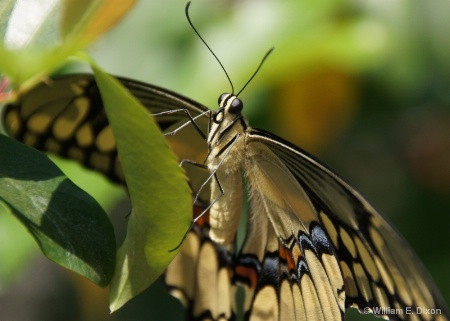 Giant Swallowtail Butterfly Upclose