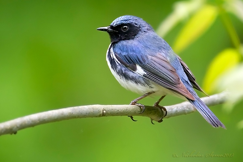 Warbler-Black-throated Blue
