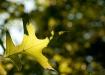 Pin Oak in the Ea...
