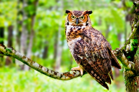 """Great Horned Owl"""