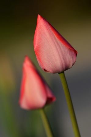 Golden hour tulip