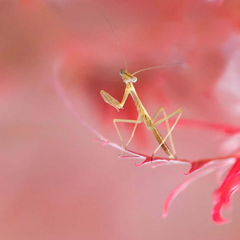 Baby Praying Mantis on a Japanese Maple Leaf