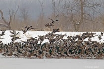 Winter Mallards