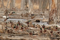 Flooded timber Mallards