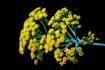 Licorice Plant (I...