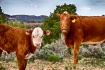 Cottonwood Cows