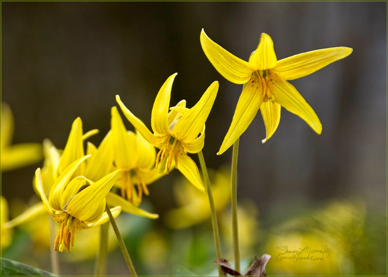Patch of Trout Lily
