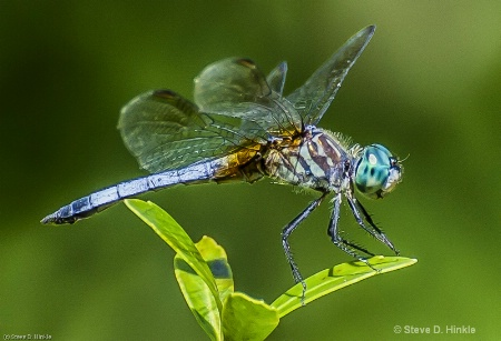 Dragon Fly In Summer