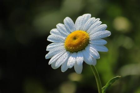 Daisy Sparkle