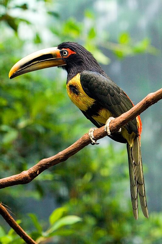 Pale-Mandible Aracari